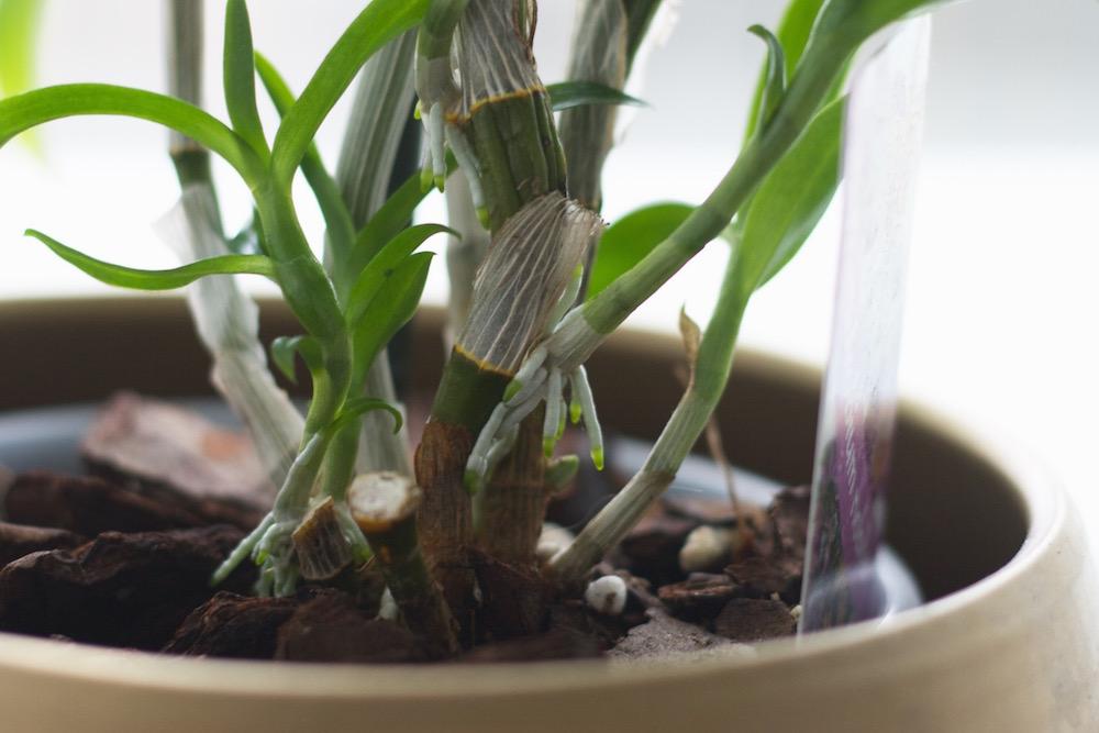 orhideed - dendroobium