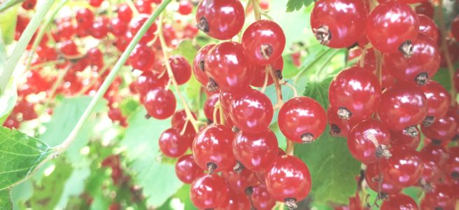 suvi - marjad - punane sõstar
